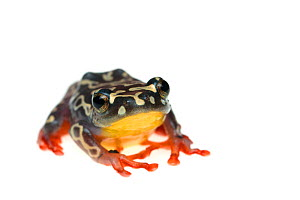 Riggenbach's reed frog (Hyperolius riggenbachi) captive, occurs in Africa. Vulnerable species. - Edwin  Giesbers