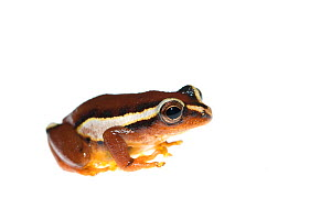 Mitchell's reed frog (Hyperolius mitchelli) captive, occurs in Malawi, Mozambique, and Tanzania - Edwin  Giesbers