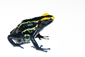 Dyeing poison arrow frog (Dendrobates tinctorius) captive, occurs in the Guiana Shield of South America. - Edwin  Giesbers