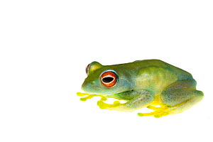 Red-eyed boophis frog (Boophis luteus) captive occurs in Madagascar.  -  Edwin  Giesbers