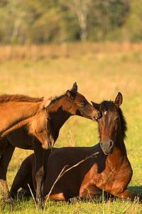 Wild Pantaneiro four-month old colt nibbles his resting mother, watched by yearling brother, Pantanal, Mato Grosso do Sul, Brazil. - Kristel  Richard