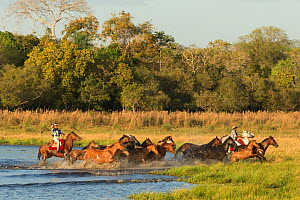 Two cowboys mounted on a Pantaneiro stallion, round up a band of wild Pantaneiro horses, Pantanal, Mato Grosso do Sul, Brazil. August 2015. - Kristel  Richard