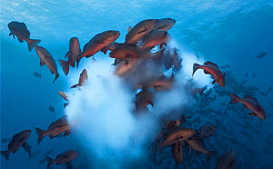 Twinspot snapper (Lutjanus bohar)  shoal rushing up to spawn, releasing a cloud of milky white sperm and eggs in the water column. Caroline Islands, Palau, November.  -  Tony Wu