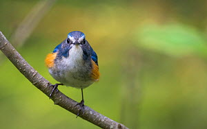 Red-flanked bluetail (Tarsiger cyanurus) male front view, Jyvaskyla, Central Finland, May. - Jussi  Murtosaari