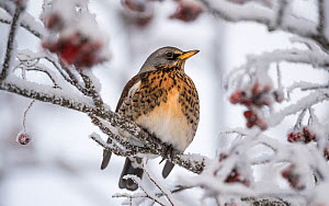 Fieldfare (Turdus pilaris) in Rowan tree with berries in winter, Jyvaskyla, Central Finland, January.  -  Jussi  Murtosaari