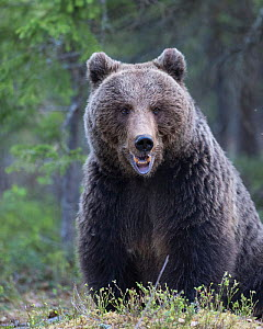 Brown bear (Ursus arctos) male portrait, Kainuu, Finland, May.  -  Jussi  Murtosaari