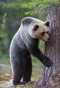 Brown bear (Ursus arctos) juvenile playing, hiding behind tree, Kainuu, Finland, May. - Jussi  Murtosaari