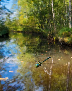 Southern hawker dragonfly (Aeshna cyanea) flying in habitat, Joutsa, Central Finland, August.  -  Jussi  Murtosaari