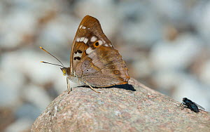 Lesser purple emperor butterfly (Apatura ilia), male sitting on a stone with a fly, South Karelia, Finland, August.  -  Jussi  Murtosaari