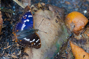 Lesser purple emperor butterfly (Apatura ilia) male on the ground, South Karelia, Finland, August.  -  Jussi  Murtosaari