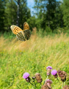 Silver washed fritillary butterfly  (Argynnis paphia) female in flight with thistles,  Uusimaa, Finland, August. - Jussi  Murtosaari