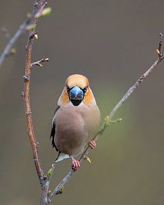 Hawfinch (Coccothraustes coccothraustes), male perched on twig, Uto, Finland, May.  -  Jussi  Murtosaari