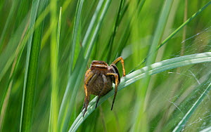Raft spider (Dolomedes fimbriatus), female carrying egg sac, Toivakka, Finland, August.  -  Jussi  Murtosaari