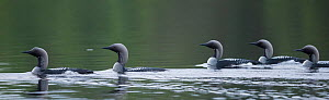 Black-throated loon (Gavia arctica), adults on water, South Karelia, Finland, June.  -  Jussi  Murtosaari