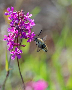 Narrow-bordered bee hawk-moth (Hemaris tityus) feeding, South Karelia, Finland, June.  -  Jussi  Murtosaari