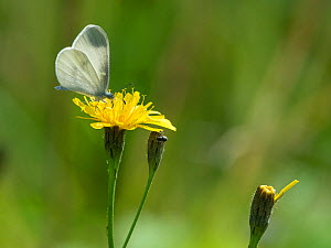 Real's wood white (Leptidea juvernica) second generation male on flower, South Karelia, Finland, August.  -  Jussi  Murtosaari