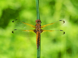 Scarce chaser (Libellula fulva) newly emerged orange form, North Karelia, Finland, June.  -  Jussi  Murtosaari