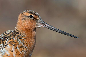 Bar-tailed godwit (Limosa lapponica) male close up of head and beak, Lapland, Finland, June.  -  Jussi  Murtosaari