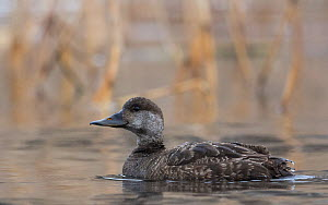 Common scoter (Melanitta nigra) female, Laukaa, Finland, January.  -  Jussi  Murtosaari