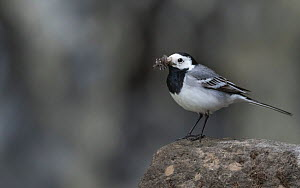 White wagtail (Motacilla alba), male carrying food for young. Jyvaskyla, Finland, June.  -  Jussi  Murtosaari