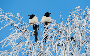 Common magpies (Pica pica) perched on frost covered branches, Jvaskyla, Finland, January. - Jussi  Murtosaari