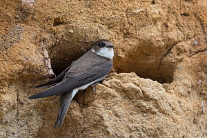 Sand martin (Riparia riparia), at the nest, North Karelia, Finland, June.  -  Jussi  Murtosaari