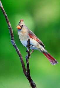 Northern cardinal (Cardinalis cardinalis) female, Laredo Borderlands, Texas, USA. April  -  Claudio  Contreras
