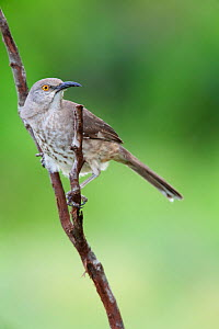 Curve-billed thrasher (Toxostoma curvirostre) Laredo Borderlands, Texas, USA. April  -  Claudio  Contreras