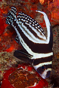 Spotted drum fish (Equetus punctatus) Puerto Morelos National Park, Caribbean Sea, Mexico, February - Claudio  Contreras