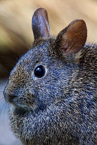 Volcano rabbit (Romerolagus diazi) Mexico City, September. Captive, critically endangered species. - Claudio  Contreras