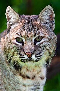 Bobcat (Lynx rufus) captive, Mexico City, September.  -  Claudio  Contreras