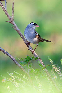 White-crowned sparrow (Zonotrichia leucophrys) perched, Laredo Borderlands, Texas, USA. April  -  Claudio  Contreras