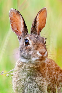 Eastern cottontail (Sylvilagus floridanus) portrait, Laredo Borderlands, Texas, USA. April - Claudio  Contreras