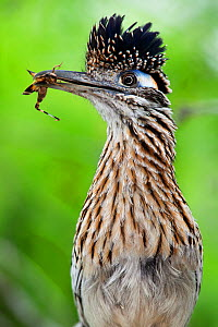 Greater roadrunner (Geococcyx californianus) with nuptial gift calling mate, Laredo Borderlands, Texas, USA. April  -  Claudio  Contreras