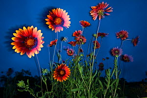 Firewheel (Gaillardia pulchella) flowers at twilight, Laredo Borderlands, Texas, USA. April - Claudio  Contreras