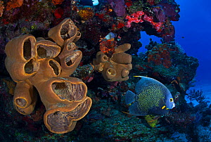 French angelfish (Pomacanthus paru) and sponges, Cozumel Reefs National Park, Cozumel Island, Caribbean Sea, Mexico, February - Claudio  Contreras
