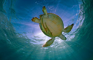 Green turtle (Chelonia mydas) with rays of sunlight, Akumal, Caribbean Sea, Mexico, January. Endangered species. - Claudio  Contreras
