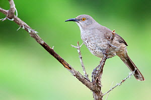 Curve-billed thrasher (Toxostoma curvirostre) perched, Laredo Borderlands, Texas, USA. April  -  Claudio  Contreras