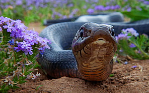 Texas indigo snake (Drymarchon melanurus erebennus) close up amongst Vervain (Glandularia sp.) flowers, Laredo Borderlands, Texas, USA. April - Claudio  Contreras