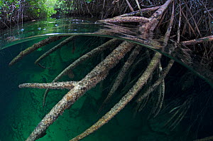 Red mangrove (Rhizophora mangle) in sinkhole, Casa Cenote, near Tulum, Yucatan Peninsula, Mexico, August  -  Claudio  Contreras