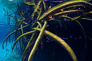 Red mangrove (Rhizophora mangle) in sinkhole, Casa Cenote, near Tulum, Yucatan Peninsula, Mexico, April  -  Claudio  Contreras