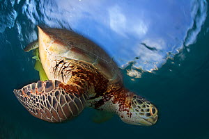 Green turtle (Chelonia mydas) swimming down from surface, Akumal, Caribbean Sea, Mexico, January. Endangered species. - Claudio  Contreras