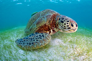 Green turtle (Chelonia mydas) over sea floor, Akumal, Caribbean Sea, Mexico, January. Endangered species.  -  Claudio  Contreras