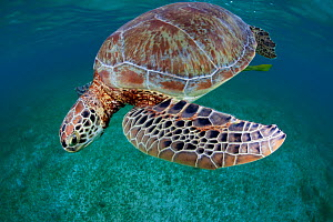 Green turtle (Chelonia mydas) Akumal, Caribbean Sea, Mexico, January. Endangered species. - Claudio  Contreras