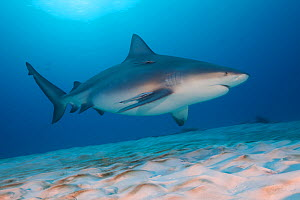 Bull shark (Carcharhinus leucas) swimming over sea floor, Playa del Carmen, Caribbean Sea, Mexico, January  -  Claudio  Contreras