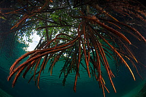 Red mangrove (Rhizophora mangle) in sinkhole, Casa Cenote, near Tulum, Yucatan Peninsula, Mexico, January  -  Claudio  Contreras