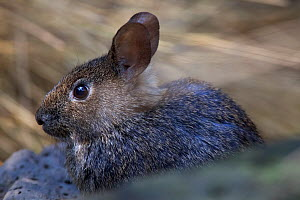 Volcano rabbit (Romerolagus diazi) captive endemic to Mexico. Critically endangered species. - Claudio  Contreras
