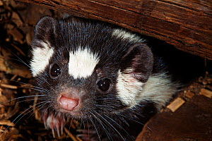 Southern spotted skunk (Spilogale angustifrons) captive, Mexico City, September - Claudio  Contreras