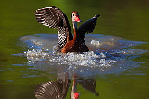 Black-bellied whistling-duck (Dendrocygna autumnalis) landing, Laredo Borderlands, Texas, USA. April  -  Claudio  Contreras