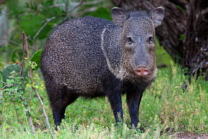 Collared peccary (Pecari tajacu) Laredo Borderlands, Texas, USA. April - Claudio  Contreras